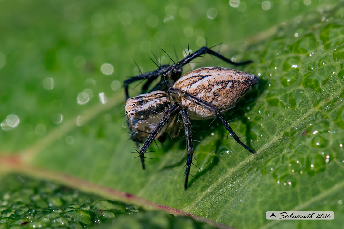 Oxyopes lineatus : Lynx spider
