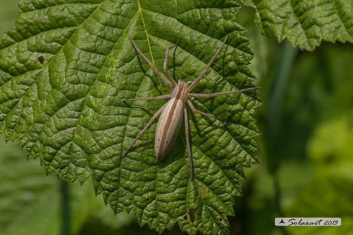 Tibellus oblongus (femmina)  - Grass spider (female)