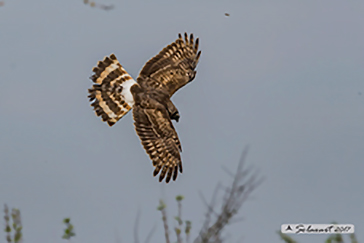 Circus cyaneus - Albanella reale - Hen harrier