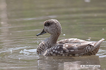 Marmaronetta angustirostris - Marbled Duck or Marbled Teal