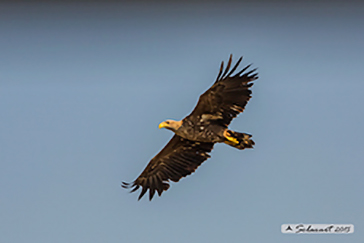 Haliaeetus albicilla- white-tailed eagle
