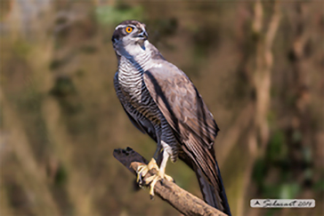 Accipiter gentilis - Northern Goshawk