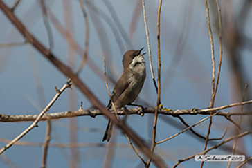 Bigiarella, lesser whitethroat, Sylvia curruca