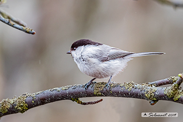Cincia siberiana;  Poecile cinctus; Grey-headed chickadee