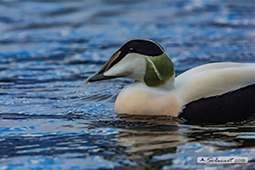 Common Eider, Edredone