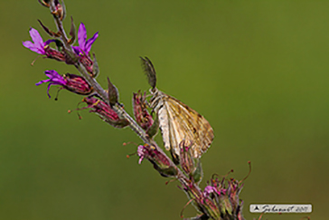 Ematurga atomaria    (maschio)  - Common Heath    (  male  )
