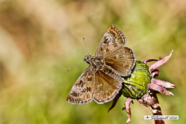 Erynnis tages - Dingy Skipper