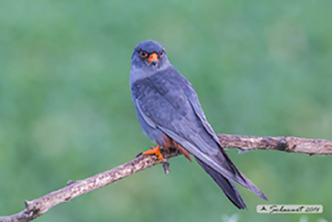 Red-footed falcon, Falco cuculo