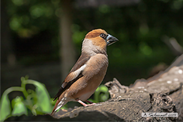 Coccothraustes coccothraustes - Frosone