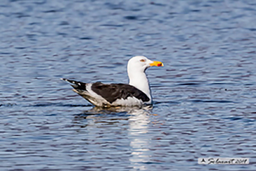 Larus fuscus - Gabbiano zafferano - Lesser black-backed gull