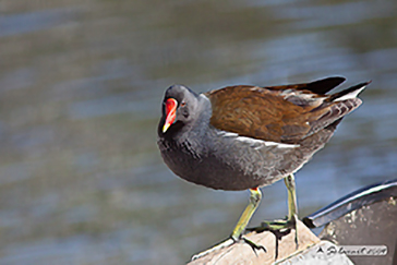 Common Moorhen, Gallinella d'acqua