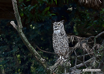 Great Horned Owl, Gufo reale virginiano