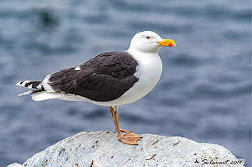 Larus marinus - Mugnaiaccio - Great black-backed gull