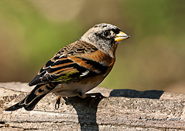 Brambling, Peppola