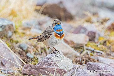 Luscinia svecica svecica - Pettazzurro nordico - Northern Bluethroat
