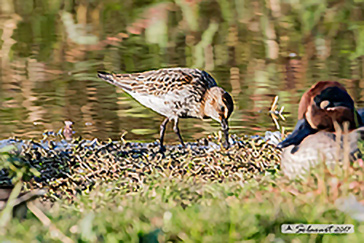 Piovanello_pancianera Calidris_alpina