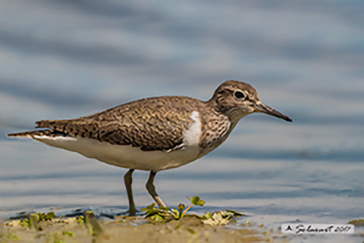 Common sandpiper, Piro-piro piccolo