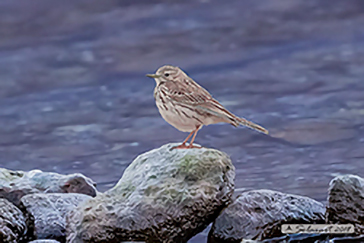 Anthus pratensis, Meadow pipit, Pispola