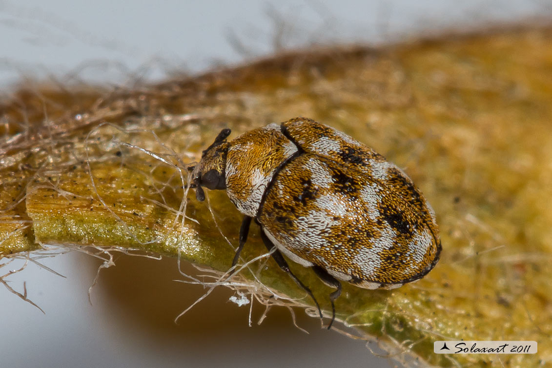 Anthrenus verbasci - Coleottero dei tappeti -  Varied carpet beetle