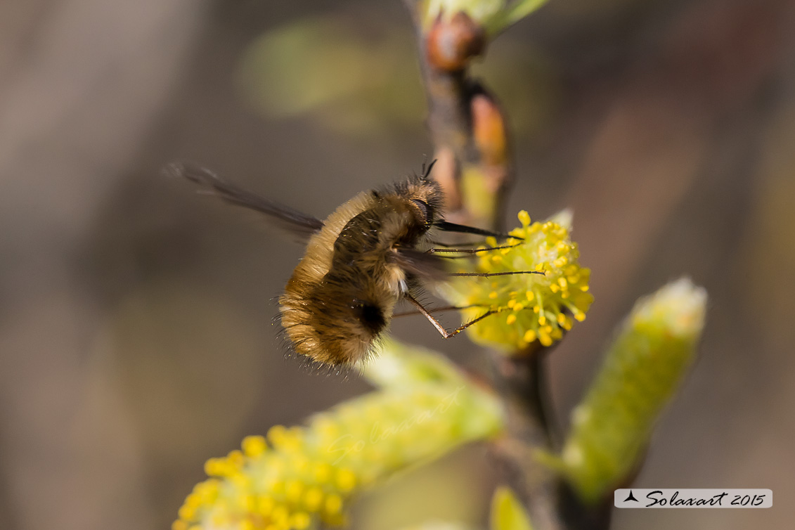 Bombylius major - large bee fly
