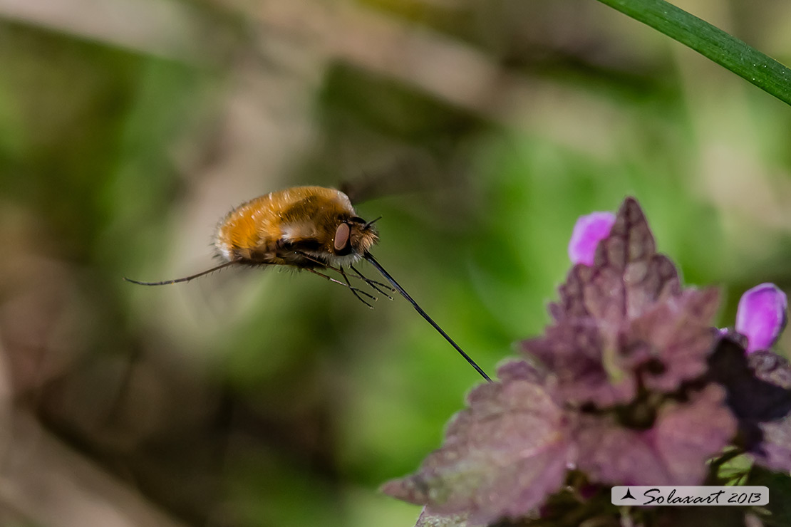 Bombylius  - large bee fly