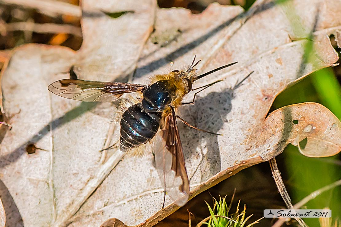 Bombylius major (glabri) - large bee fly (hairless)