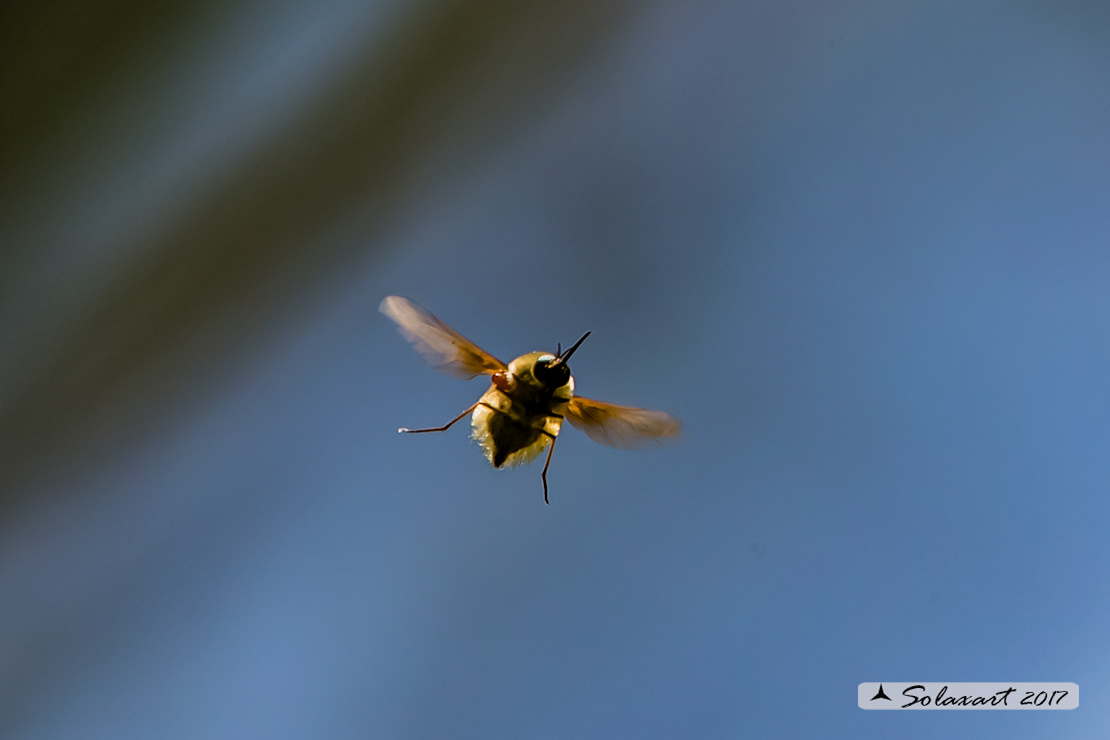 Bombylius major : large bee fly