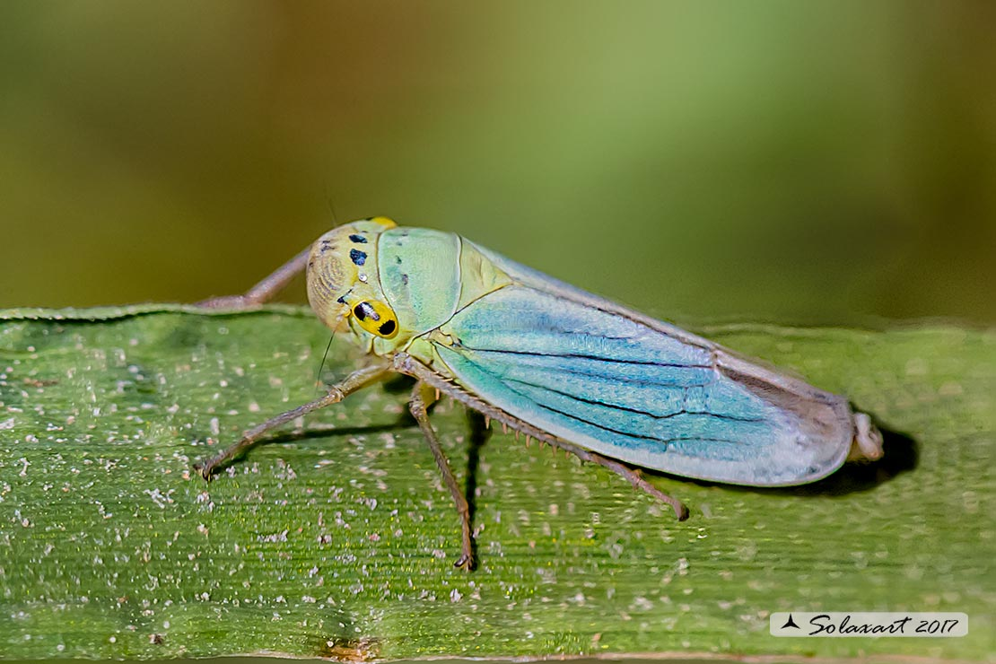 Cicadella viridis :   Cicalina verde  ;  Green Leafhoppers