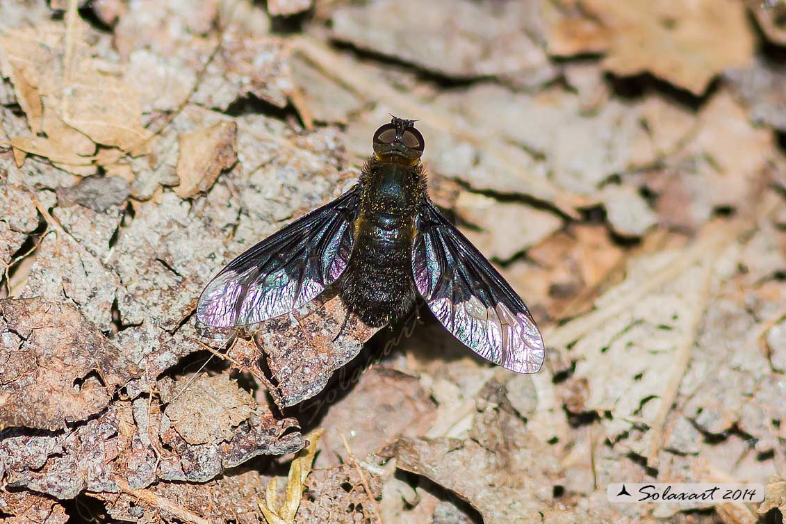 Hemipenthes morio - common Bee-fly