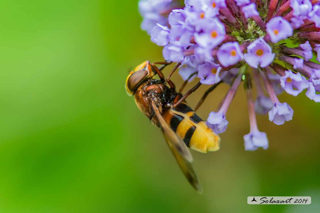 Volucella zonaria  -  hornet mimic hoverfly