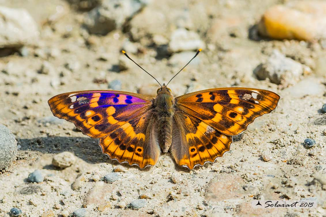Apatura ilia:    Ilia (femmina)  ;  Lesser Purple Emperor (female)
