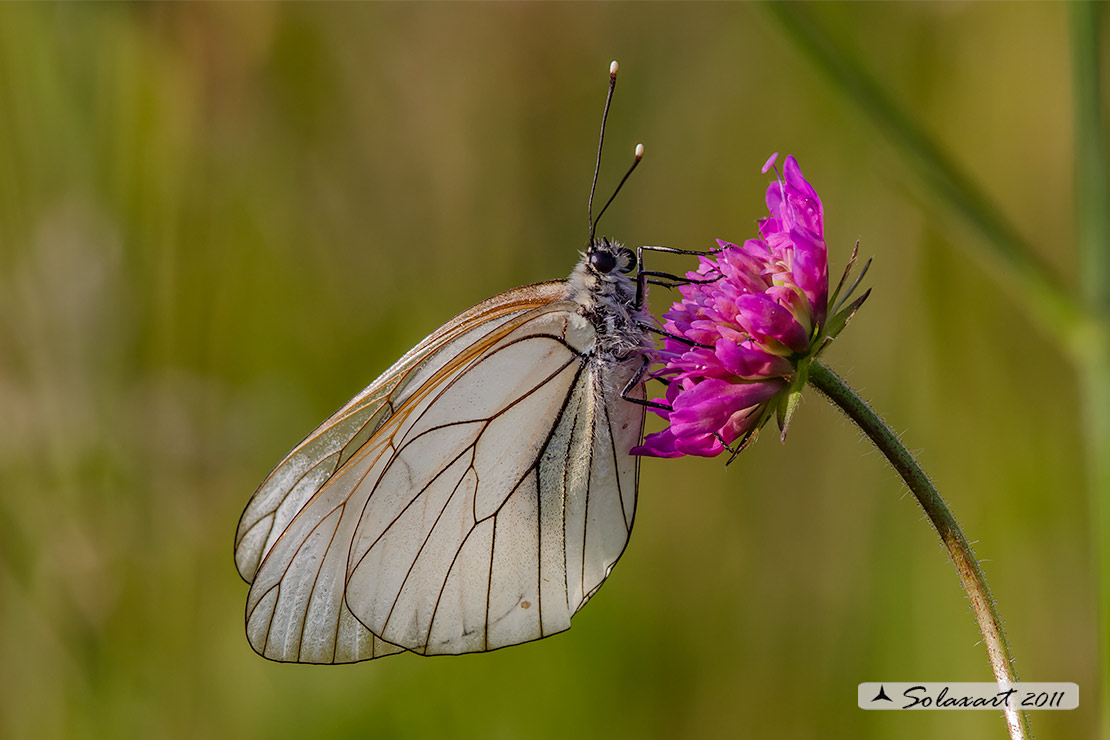 Aporia crataegi: Pieride del biancospino (femmina); Black-veined White (female)