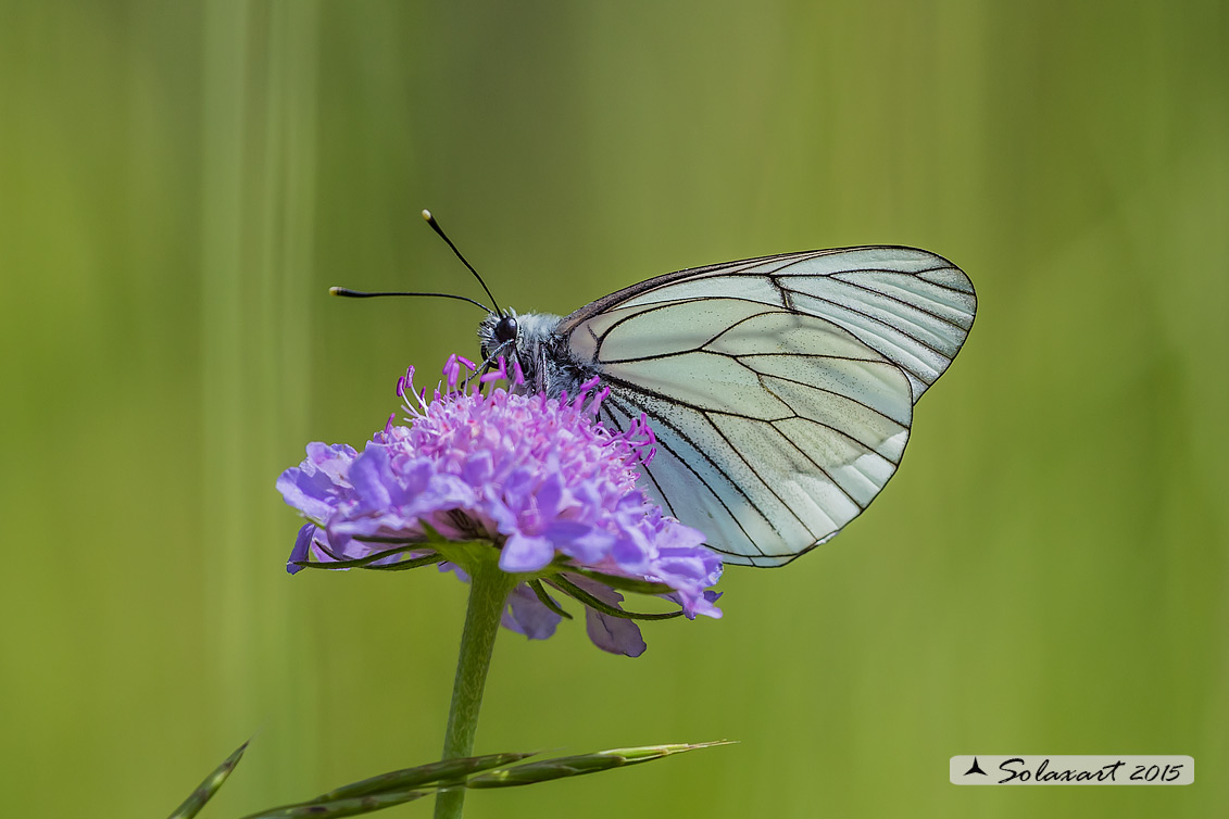Aporia crataegi: Pieride del biancospino; Black-veined White