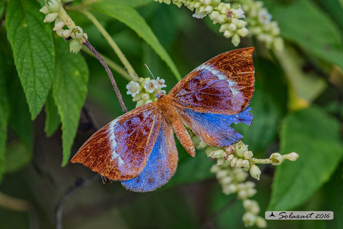 Behemothia godmanii : Godman's Metalmark (male)