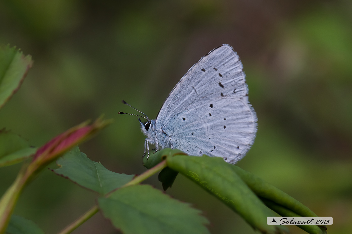 Celastrina argiolus   (femmina)  - Holly Blue - (female)