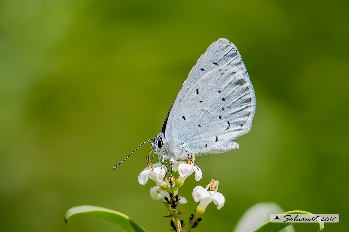 Specie:    Celastrina argiolus   (maschio)  - Holly Blue - (male)