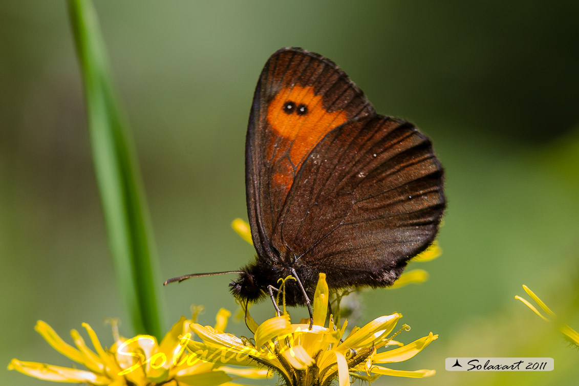 Erebia ligea - Ligea - Arran Brown