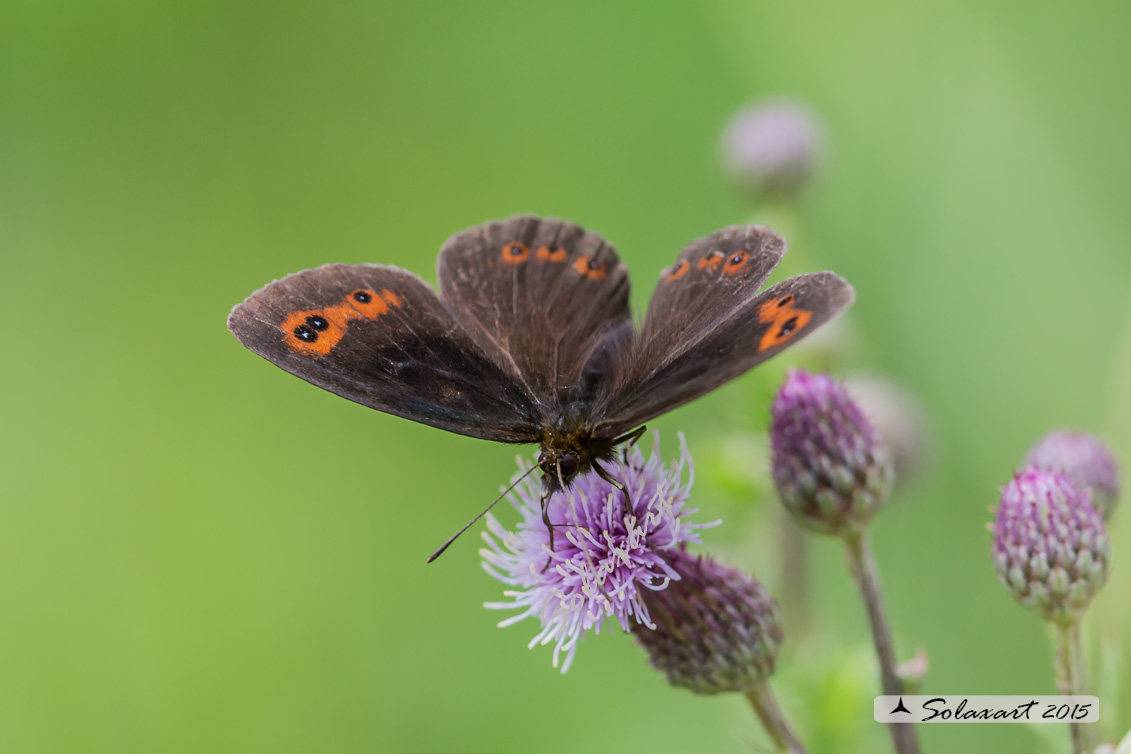 Erebia ligea   -   (        )   -  Arran Brown