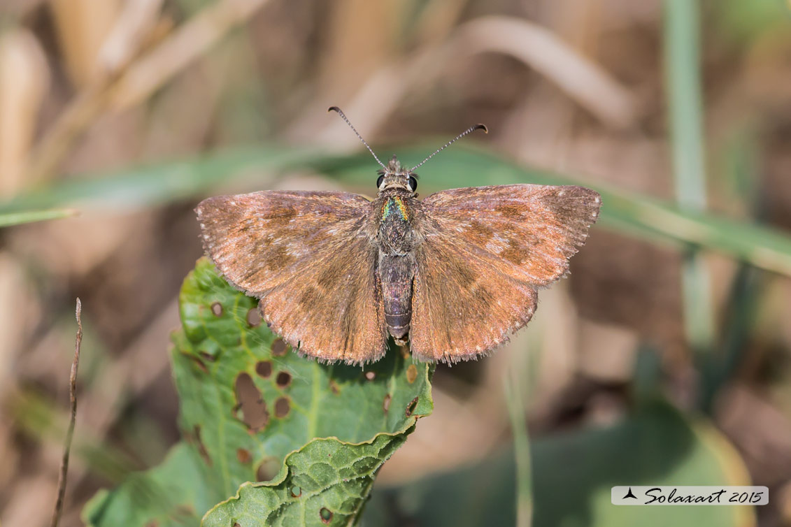 Specie: Erynnis tages (femmina  ) - Dingy skipper (female)