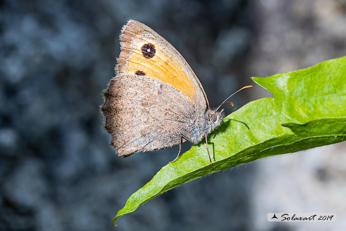 Hyponephele lycaon; Dusky meadow brown