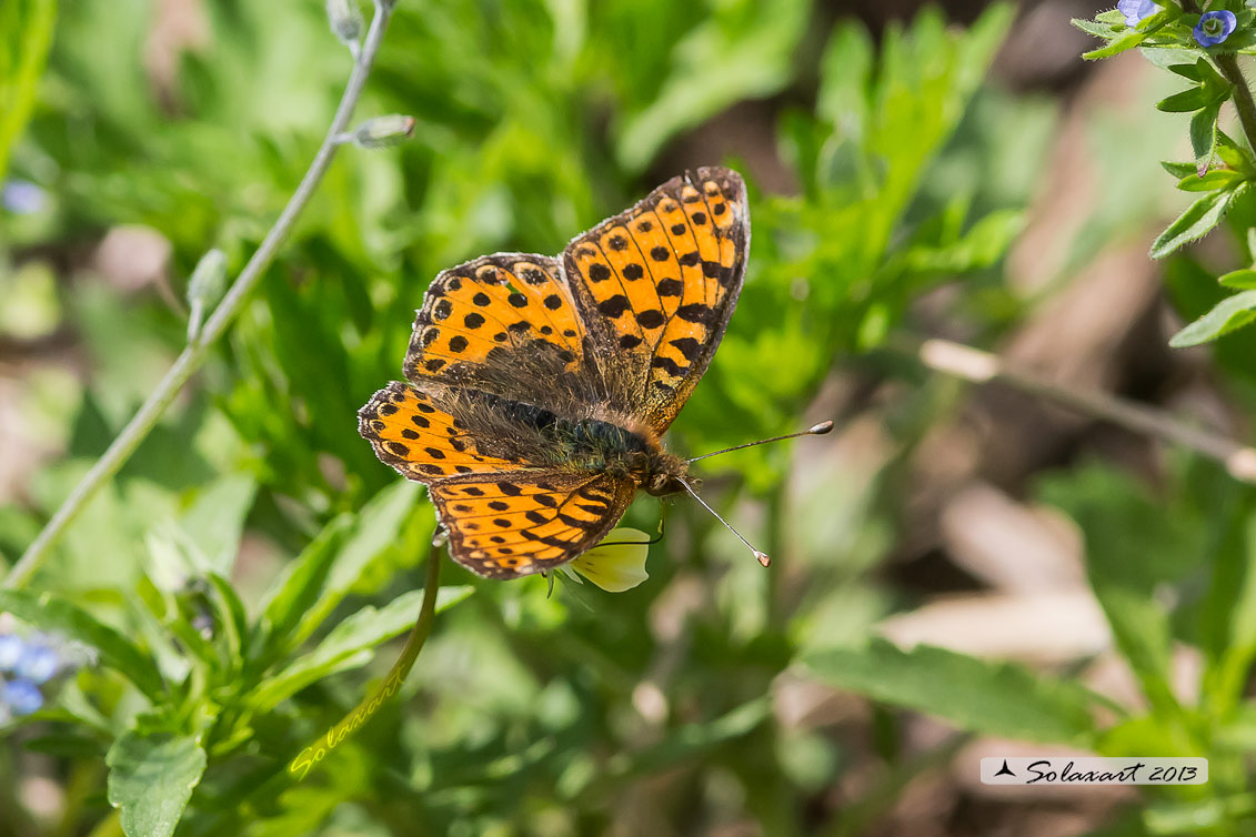 Issoria lathonia  - Latonia - Queen of Spain Fritillary