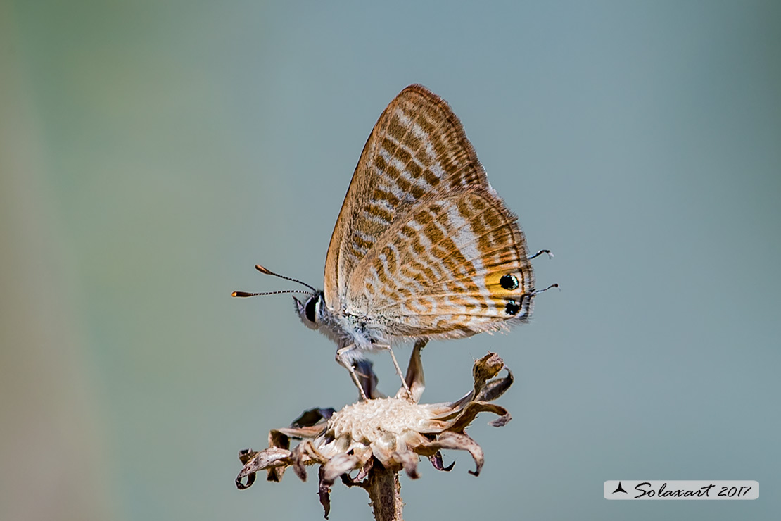Lampides boeticus :    Lampide  ;    Peablue, or long-tailed blue