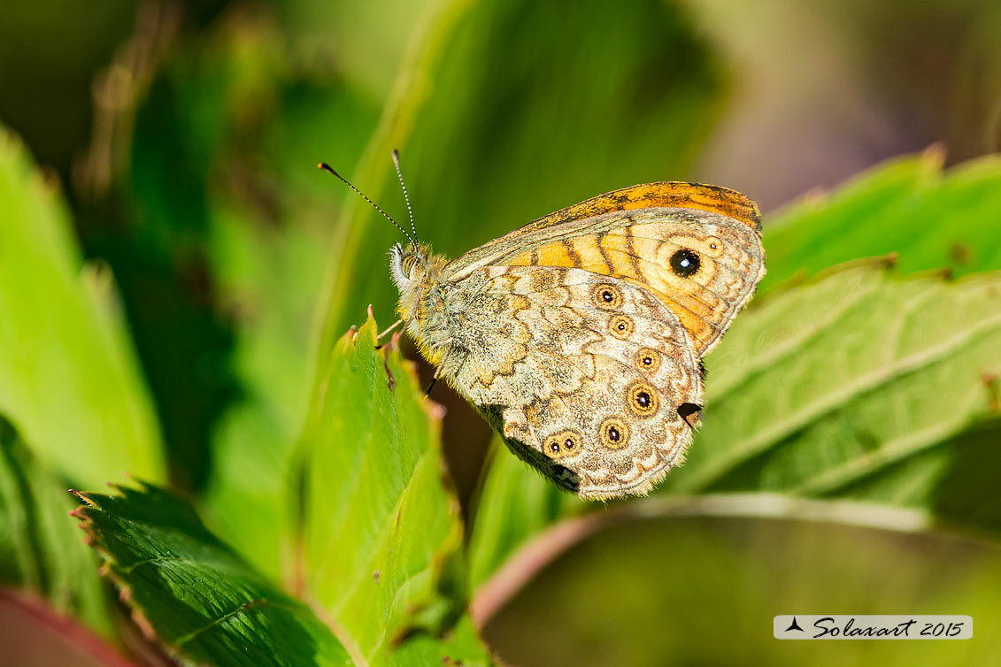 Lasiommata megera :  Megera (maschio) ;  Wall Brown (male)