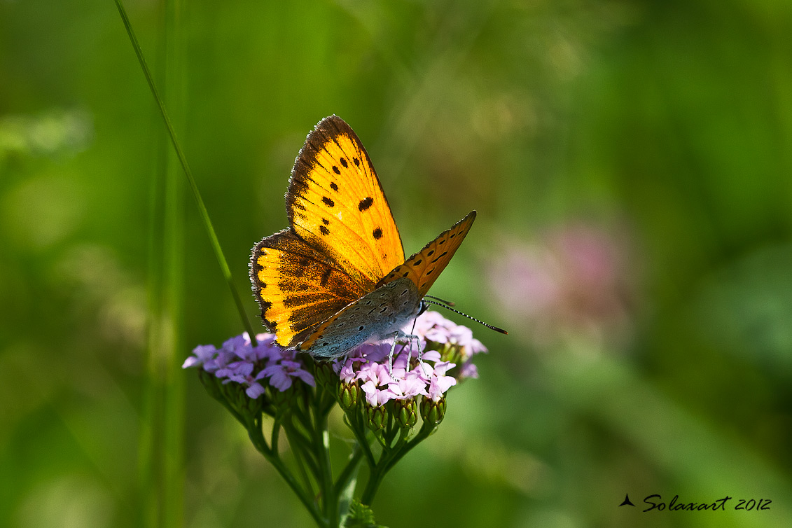 Lycaena dispar : Licena delle paludi ; Large Copper