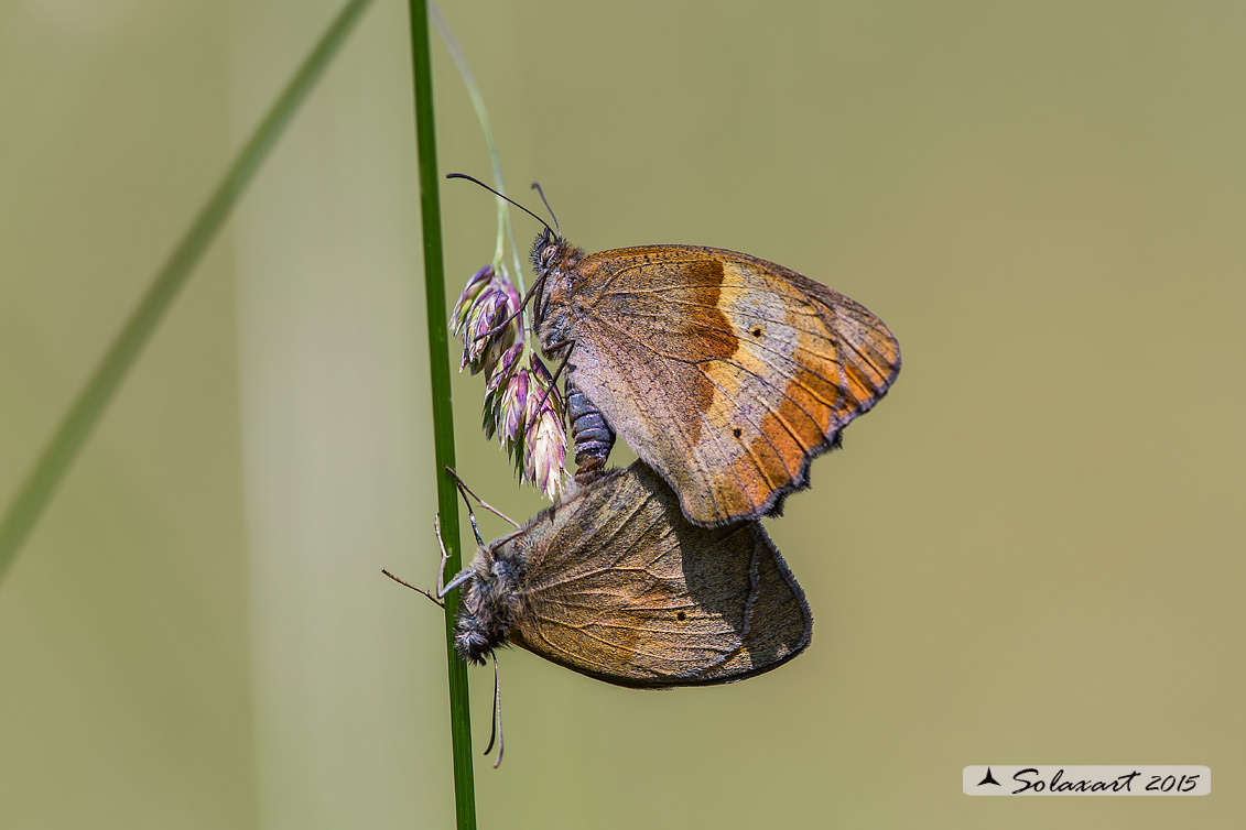 Maniola jurtina :    Maniola comune (copula);  Meadow brown (mating)