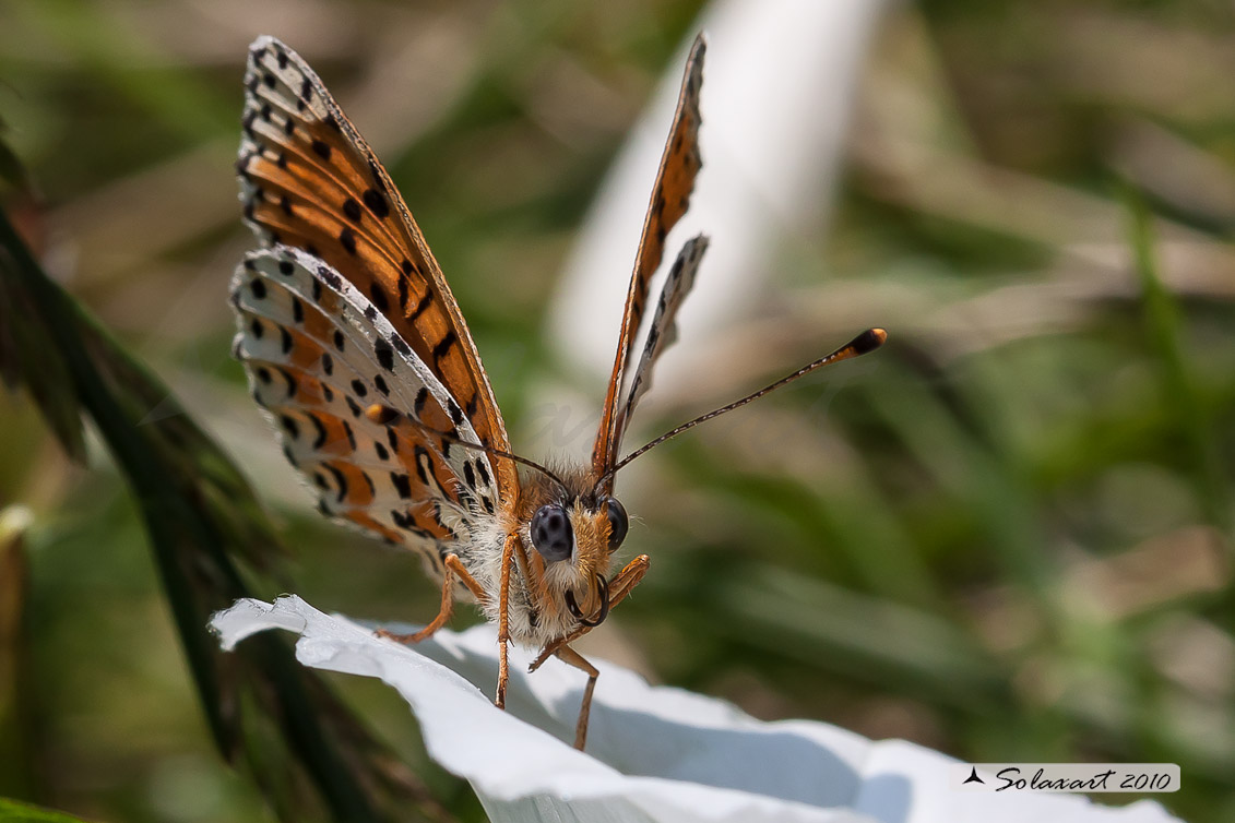 Melitaea didyma - Didima - Spotted Fritillary or Red-band Fritillary