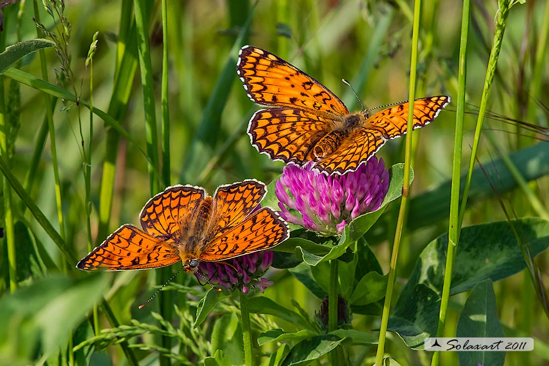 Melitaea phoebe: Febe (maschio e femmina);  Knapweed Fritillary (male & female)
