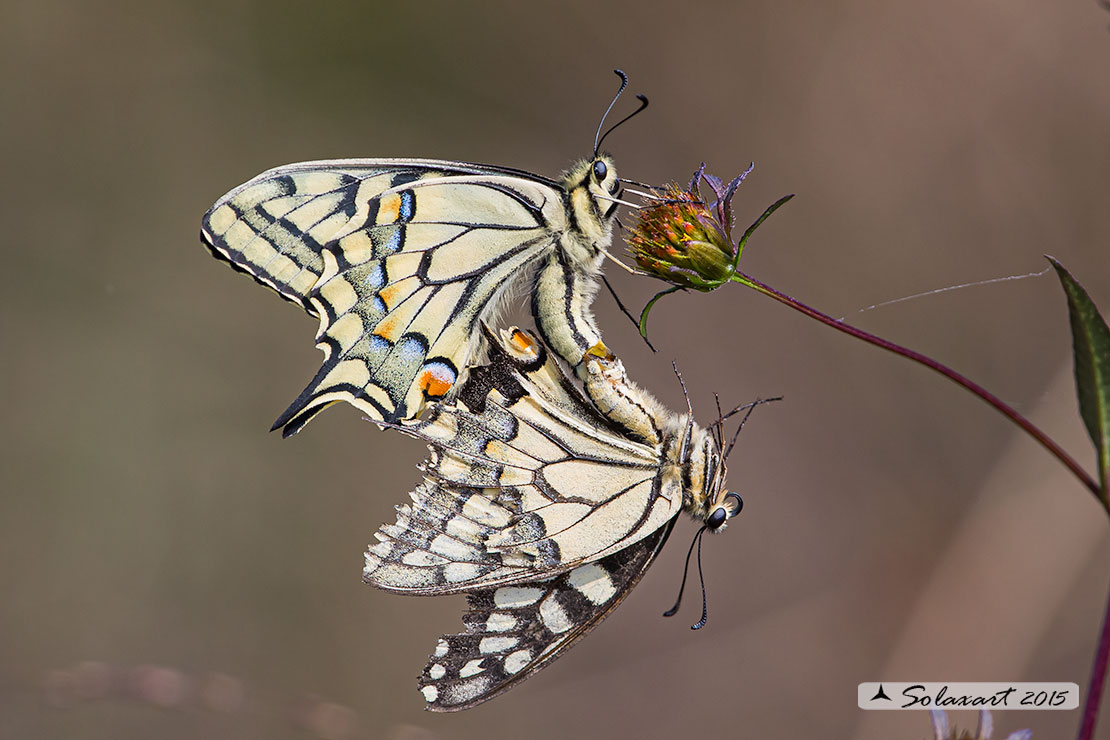 Papilio machaon: Macaone (copula); Old World Swallowtail or yellow Swallowtail (mating)