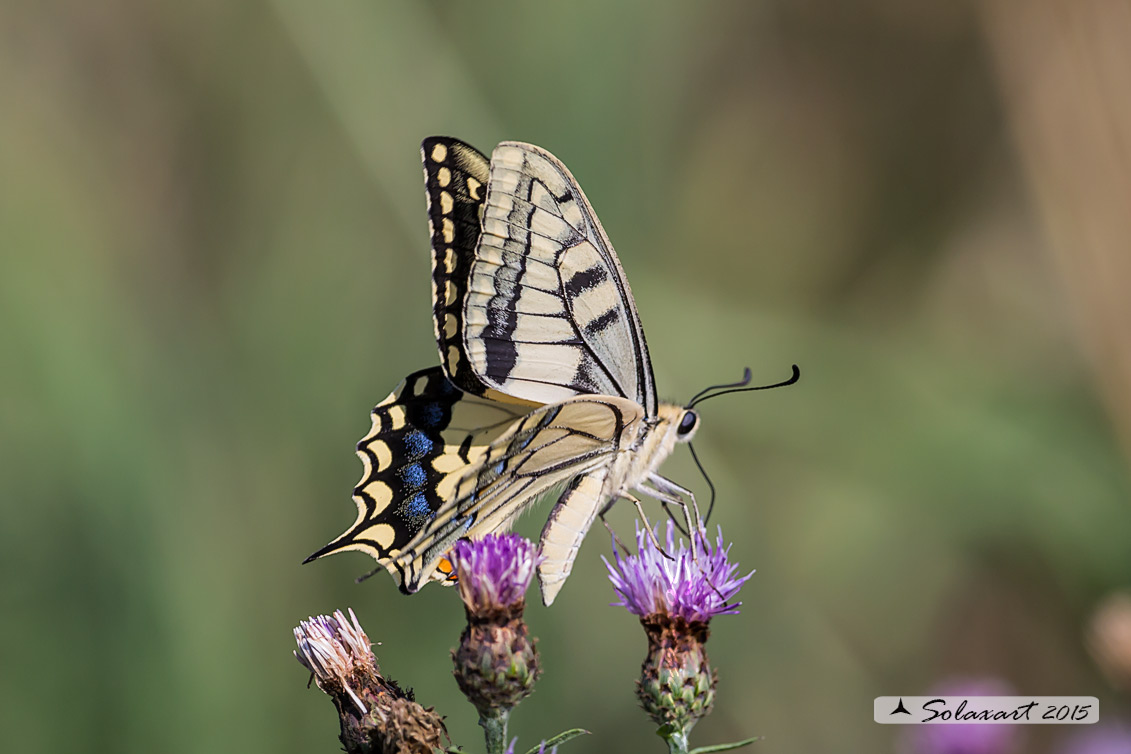 Papilio machaon :    Macaone (femmina) ;    Old World Swallowtail or yellow Swallowtail  (female)