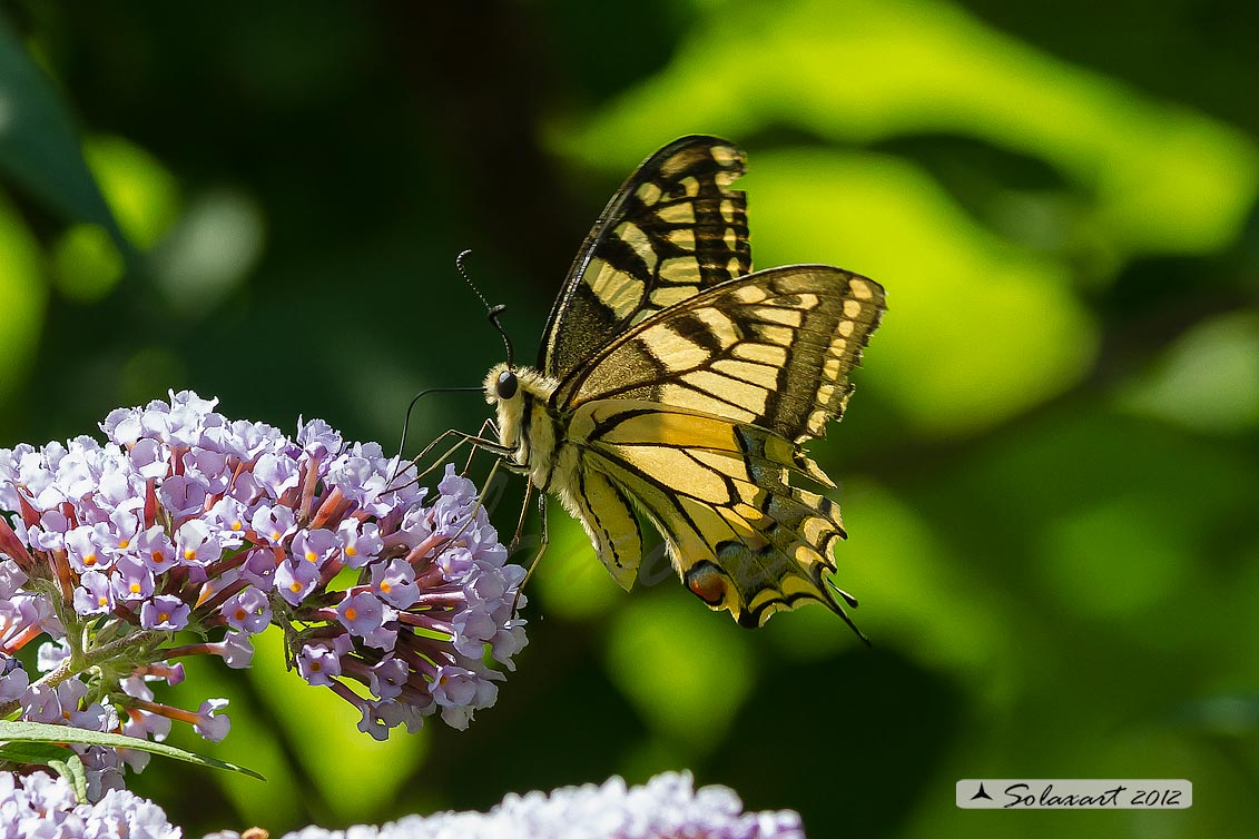 Papilio machaon - Macaone - Old World Swallowtail or yellow Swallowtail